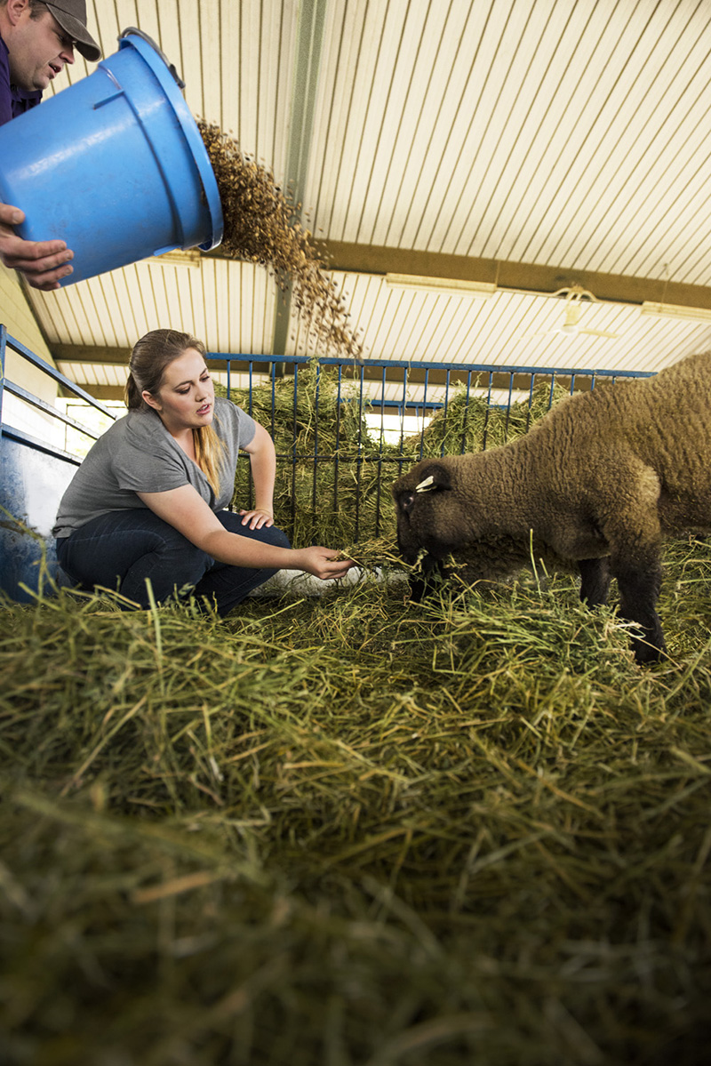 CCC Sequoia Sheep